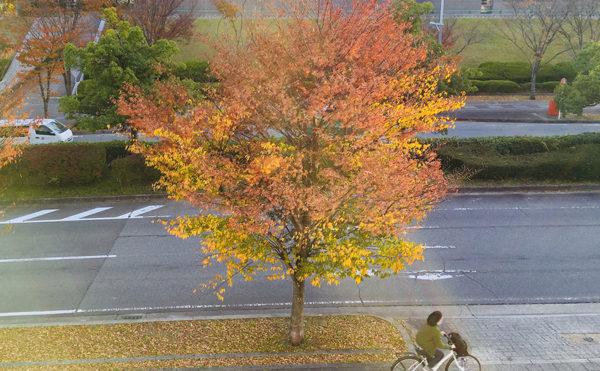 州見台(くにみだい)の街路樹が、なんだかお洒落な件について。
